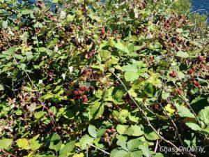 Blackberries