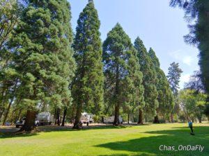 Schroeder Park redwoods